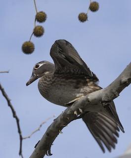 Wood Duck, ML50017831