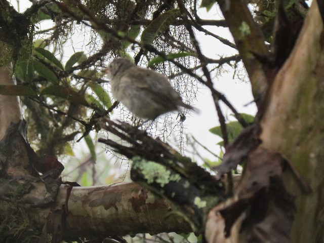Small Tree-Finch