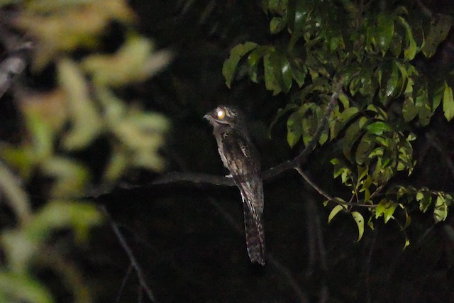 Common Potoo