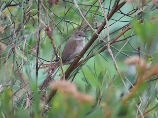 - White-bellied Spinetail