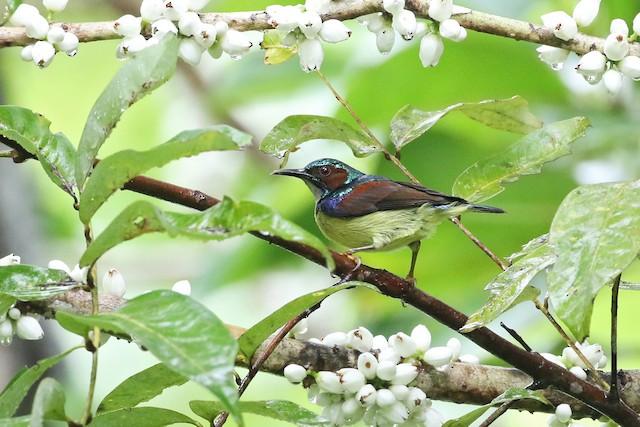 Gray-throated Sunbird