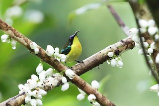 - Metallic-winged Sunbird