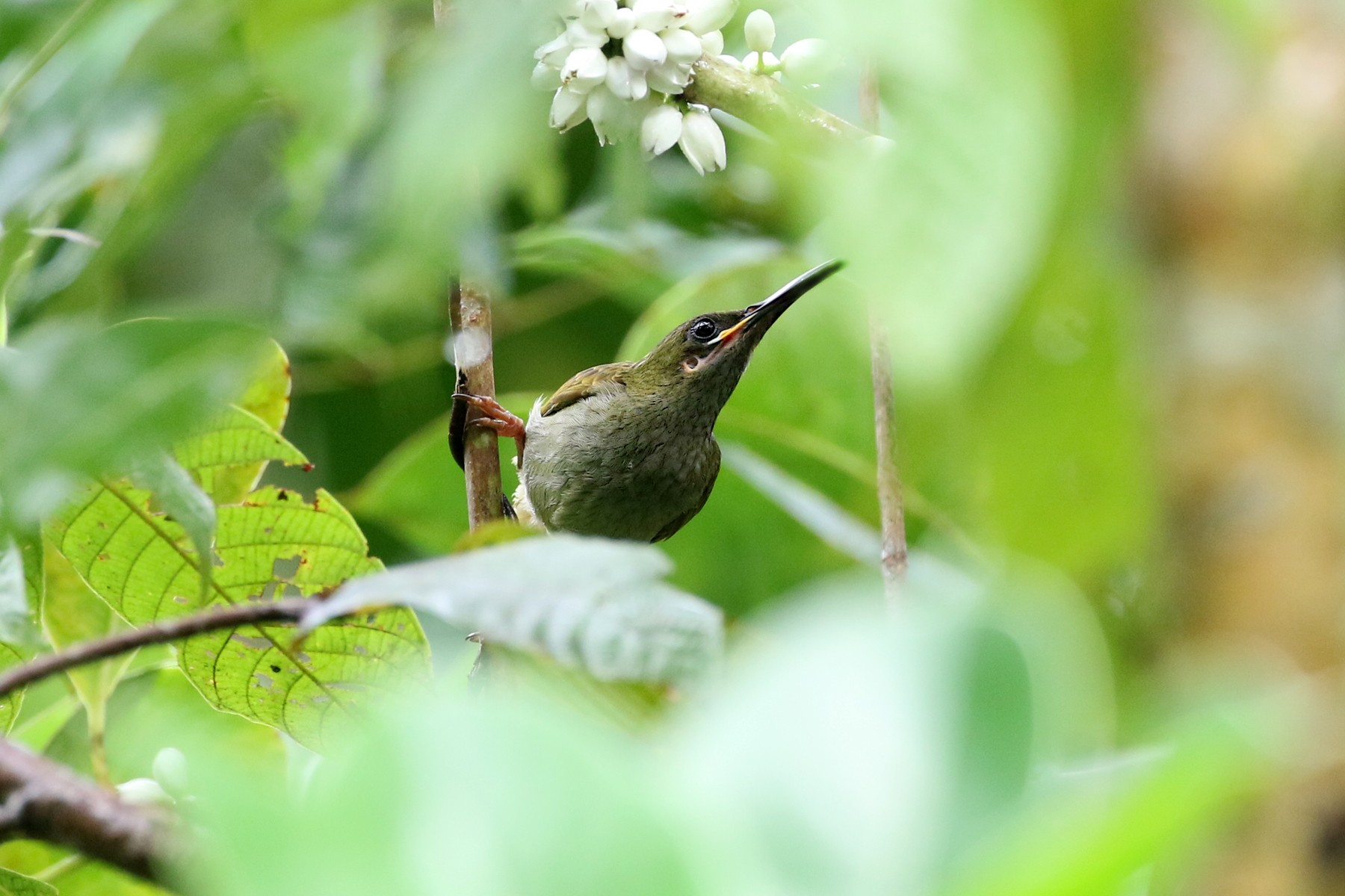 Naked-faced Spiderhunter - Charley Hesse https://www.schoolofbirding.com/