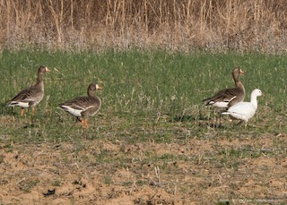 Greater White-fronted Goose (Greenland), ML50224951