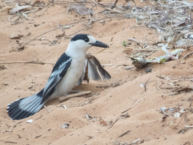 Hook-billed Vanga