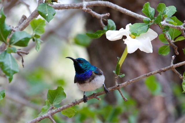 White-breasted Sunbird