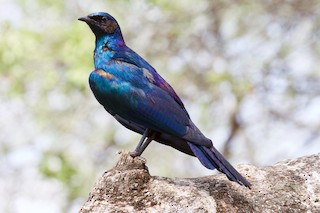- Burchell's Starling