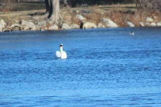 Mute Swan, ML50299891