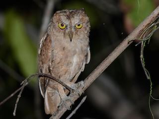 - Pemba Scops-Owl