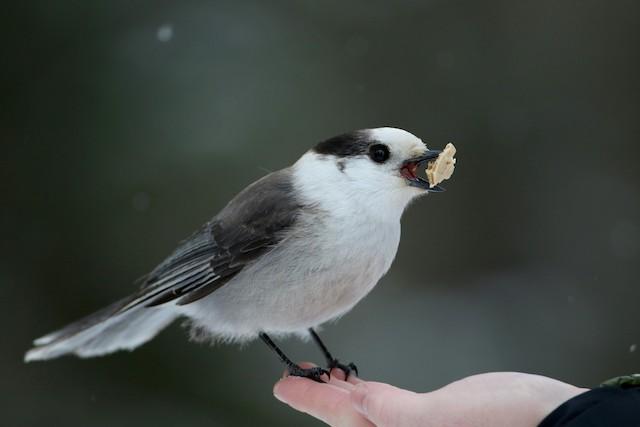 Canada Jay (Northern)