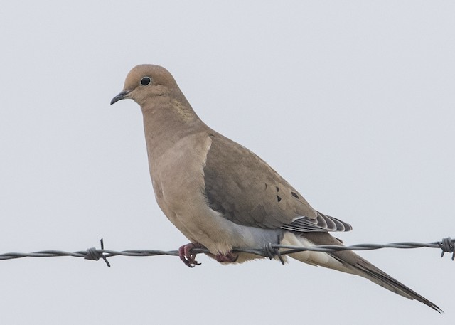 ©Michael Linz - Mourning Dove