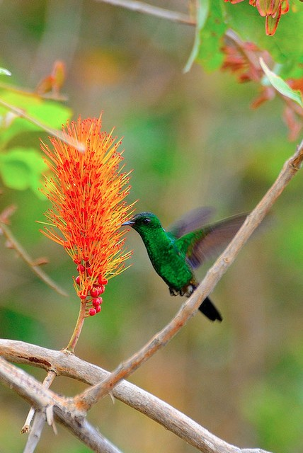 Blue-tailed Hummingbird male - Blue-tailed Hummingbird