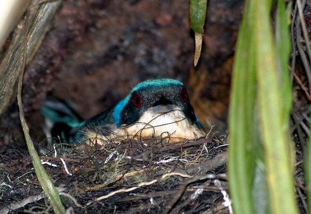 Fawn-breasted Tanager on nest