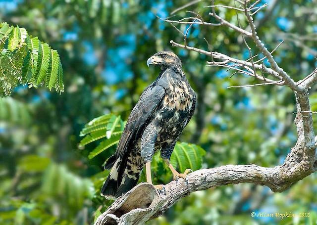 Immature Great Black-Hawk - Great Black Hawk