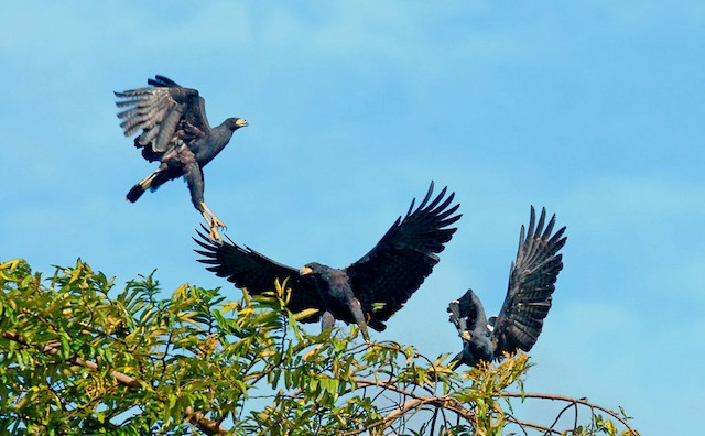 Two Great Black-Hawks attacking a third - Great Black Hawk