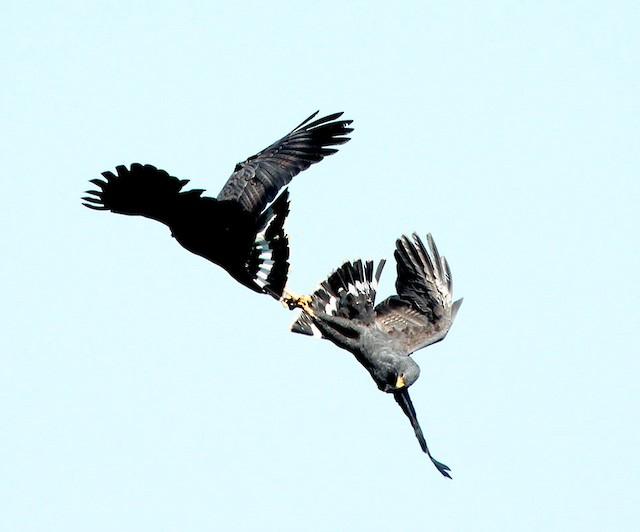 Two Great Black-Hawks falling while fighting. - Great Black Hawk