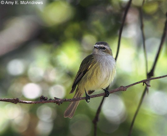 "Paltry Tyrannulet (subspecies <em class=""SciName"">vilissimus).</em>"