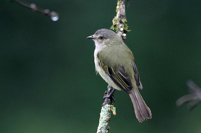 "Paltry Tyrannulet (subspecies <em class=""SciName"">parvus).</em>"