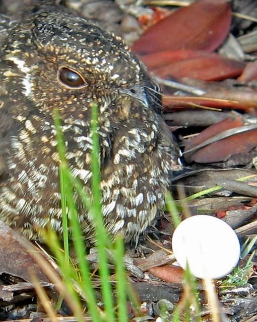Roraiman Nightjar male with egg