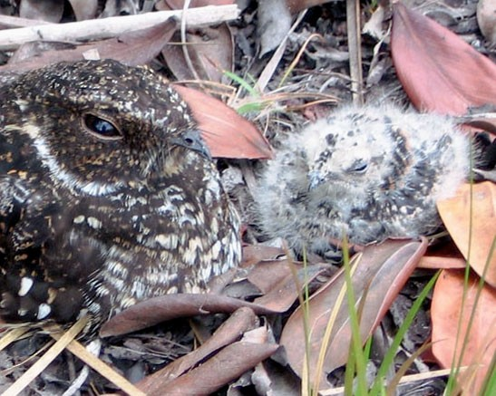 Roraiman Nightjar male with 11 day-old chick