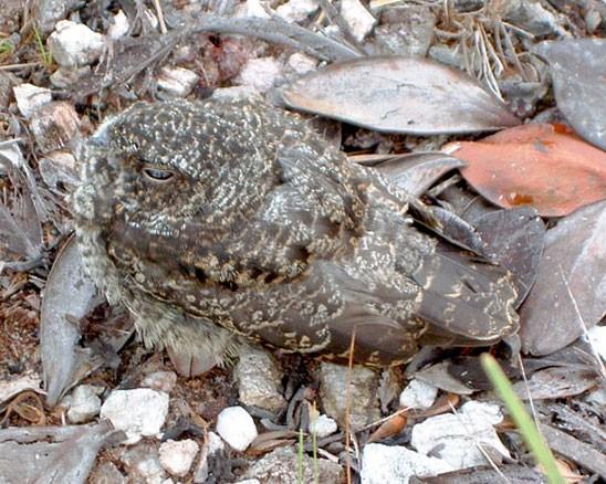 Roraiman Nightjar 37 day-old fledgling