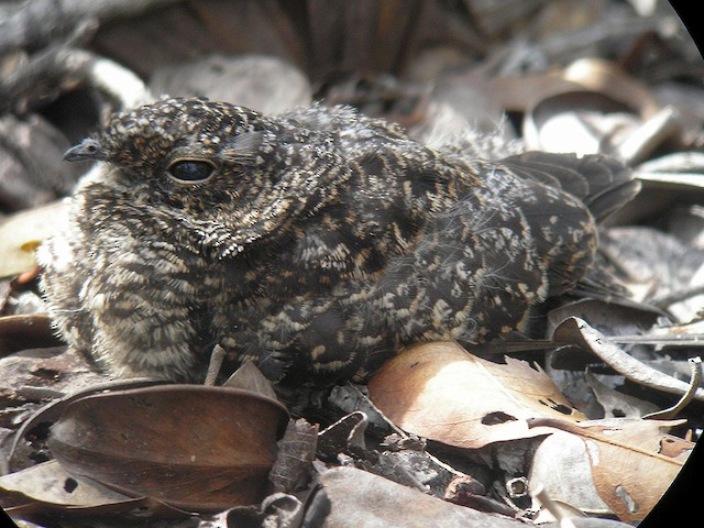 Roraiman Nightjar 27 day-old chick