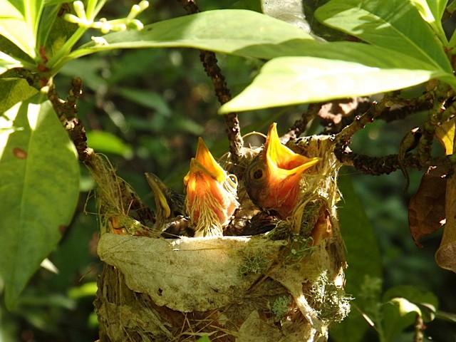 Thick-billed Vireo nestlings in nest