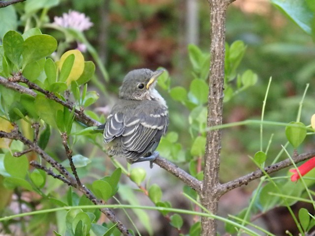 Thick-billed Vireo fledgling