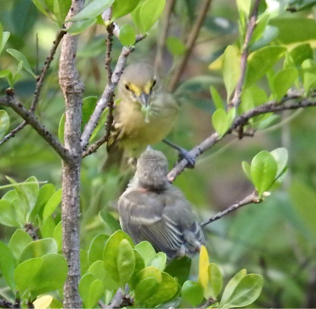 Thick-billed Vireo feeding fledgling