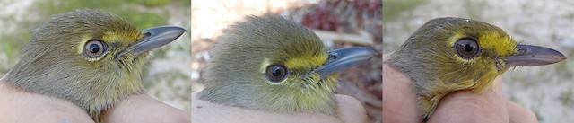 Thick-billed Vireo. From left to right: small (image taken: 1/112013), moderate (image taken: 1/202013), and large (image taken: 10/21/2011) amount of yellow on face