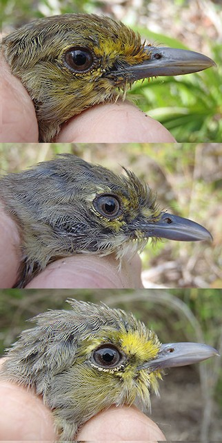 Thick-billed Vireo adults in full head molt (left: image taken 9/6/2011; middle: image taken 9/9/2011; right: image taken 9/29/2011)