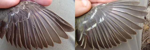 Thick-billed Vireo adult wing molt. Left: before molt (note worn wing coverts)(Image taken 9/4/2011). Right: after molt (all feathers fresh)(Image taken 1/30/2013).