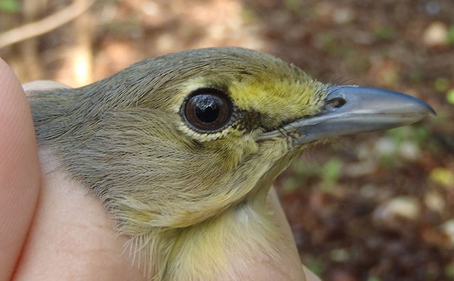 Thick-billed Vireo hatch-year plumage (although technically SY)