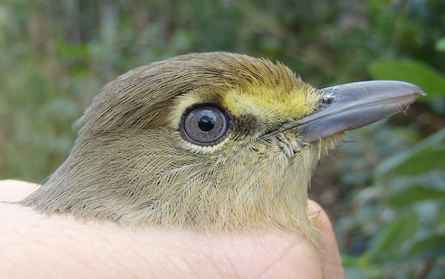 Thick-billed Vireo adult plumage