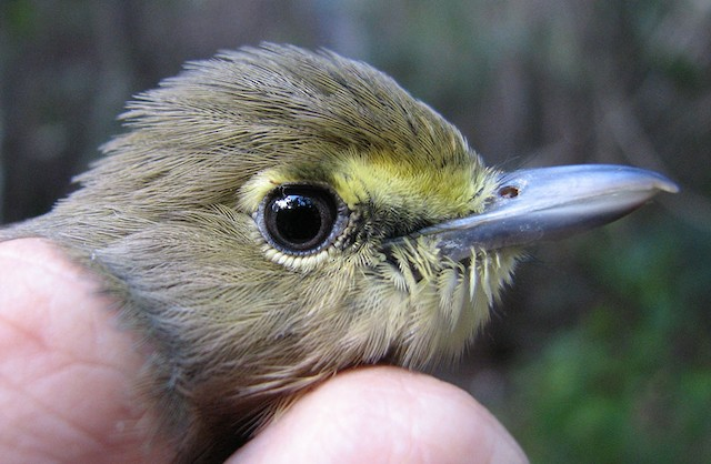 Thick-billed Vireo adult male