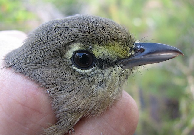 Thick-billed Vireo adult female