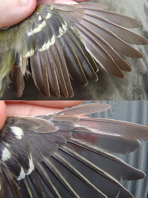 Thick-billed Vireo adult wing in active molt. (Left: image taken 9/3/2011; Right: image taken 9/29/2012)