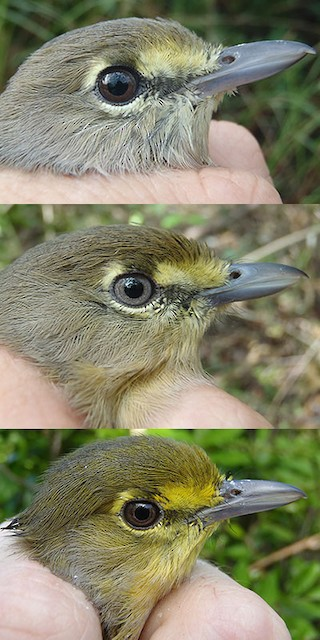 Thick-billed Vireo adult gray (image taken 10/18/2012), beige (image taken 11/6/2012), and yellow (image taken 9/6/2012) head