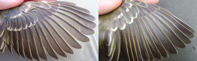 Thick-billed Vireo juvenile wing (Lef: image taken 9/4/2011; Right: image taken 9/6/2011)