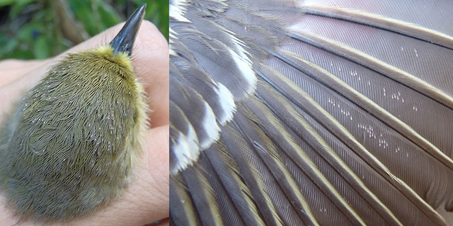 Thick-billed vireo mites on head (left: image taken 2/10/2013) and wing (right: image taken 1/30/2013)
