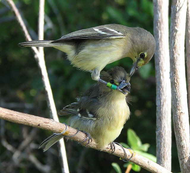 Thick-billed Vireo color-banded male attacking conspecific taxidermy mount