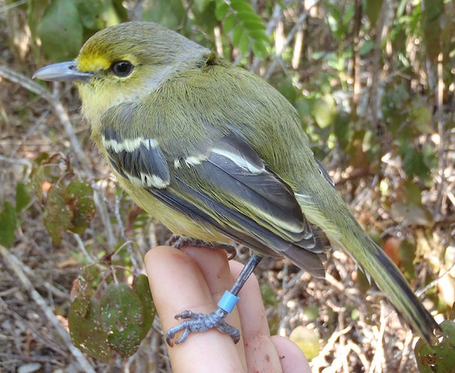 Newly banded Thick-billed Vireo perched on finger