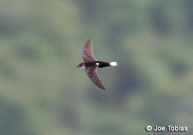 White-tipped Swift (subspecies montivagus)