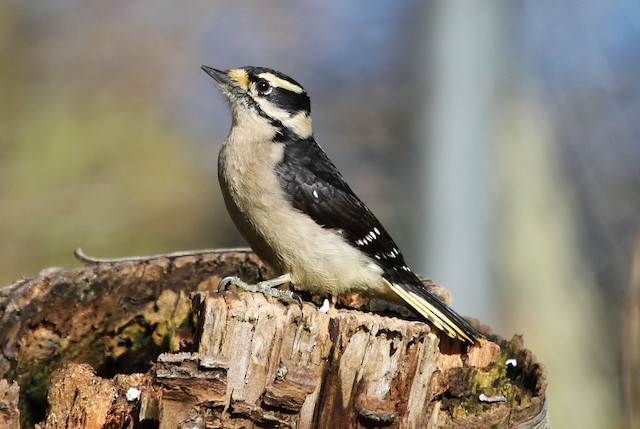 Downy Woodpecker (Pacific)