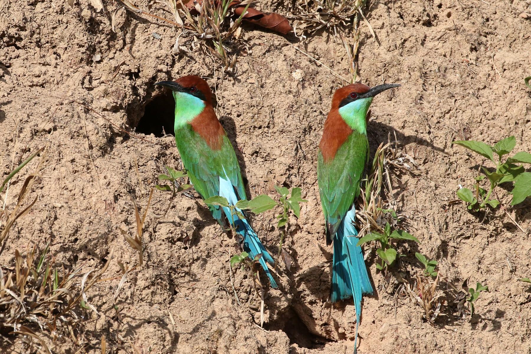 Rufous-crowned Bee-eater - Charley Hesse TROPICAL BIRDING