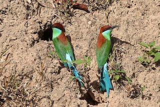 - Rufous-crowned Bee-eater