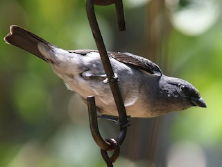 - Plain-colored Tanager