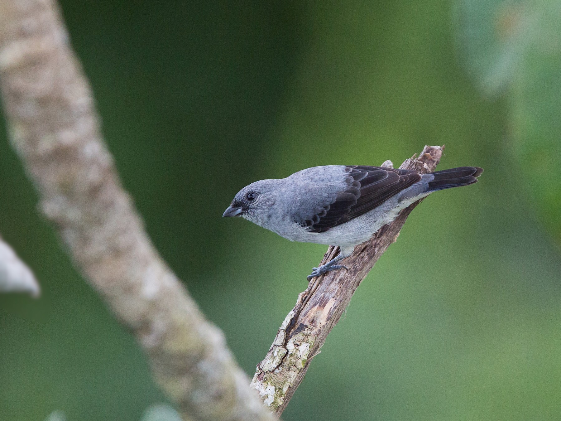 Plain-colored Tanager - David Disher