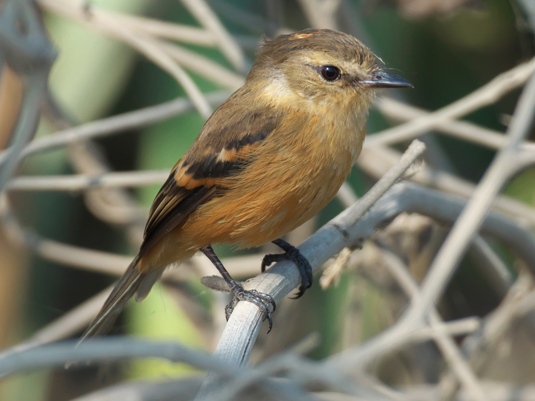 Bran-colored Flycatcher - Paul Tavares