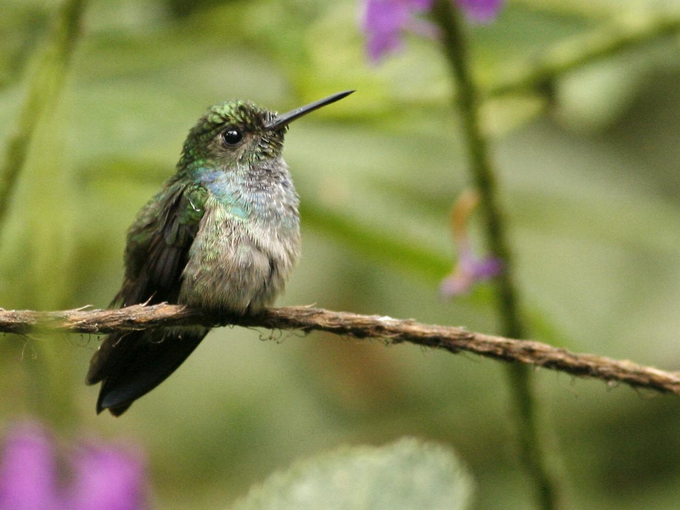 Blue-chested Hummingbird - Luke Seitz